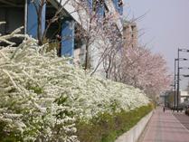 立川西大通り沿いの桜