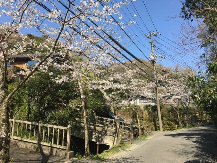 明月院通りの桜