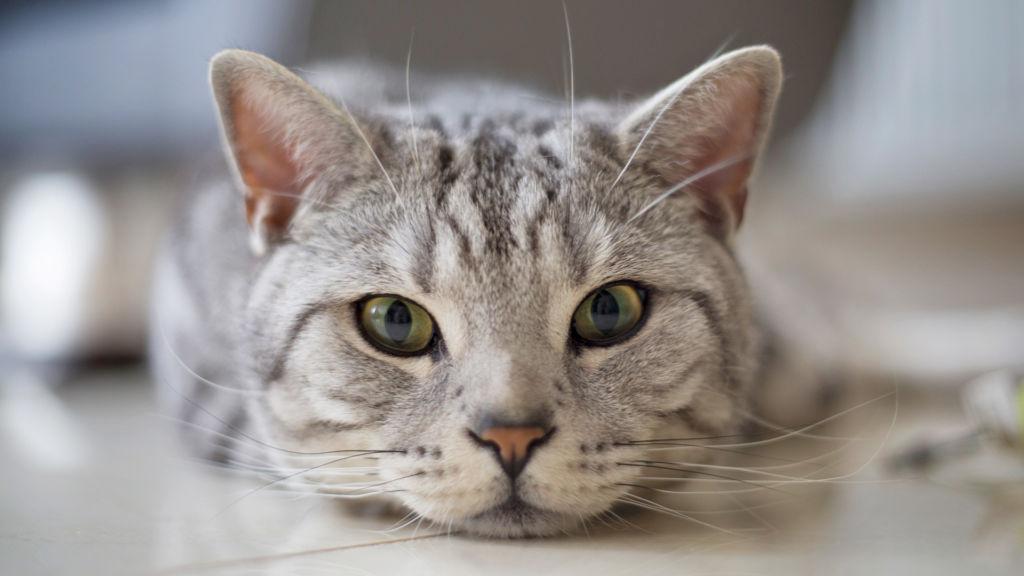 Как массировать лапы коту. Как делать кошке массаж от запора: назначение, техника проведения. Лечение при отказе задних лап у кошки