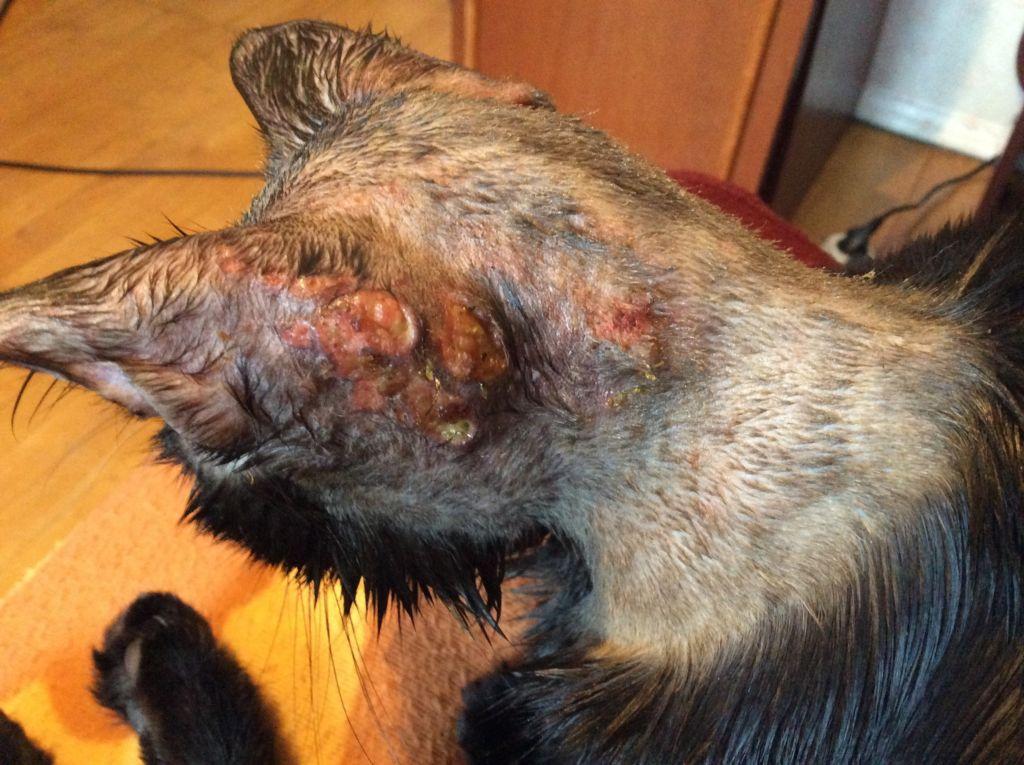 Саркоптоз или зудневая чесотка у кошек. Симптомы и лечение саркоптоза у кошек Саркоптоз у кошек пути заражения
