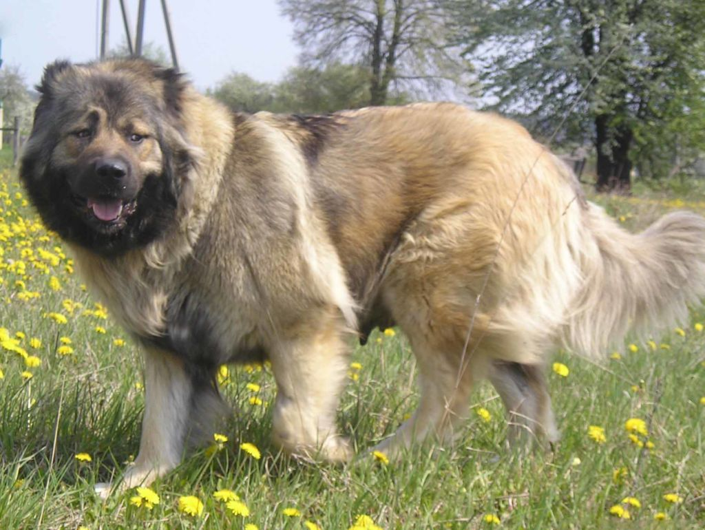 Кто сильнее алабай или кавказская овчарка