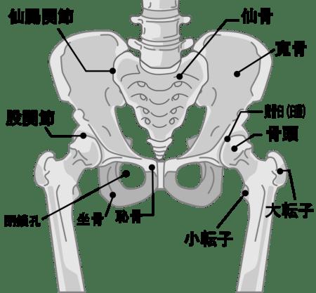 骨盤の周囲の名称図