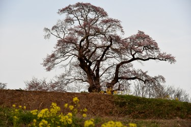 塩ノ崎の大桜2015(五分咲き)