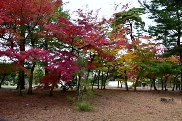 須賀川牡丹園のもみじも綺麗でした。2015