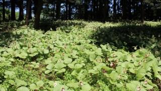 クマガイソウの群生地(福島県二本松市)パート2、5月中が見頃