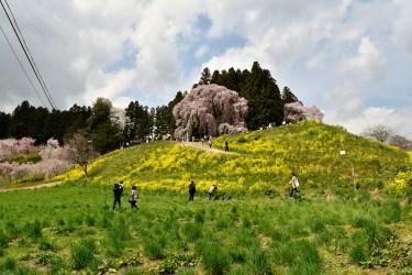 二本松市の桜名所2017、合戦場のしだれ桜、