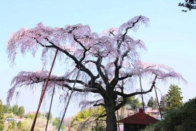 紅しだれ地蔵桜