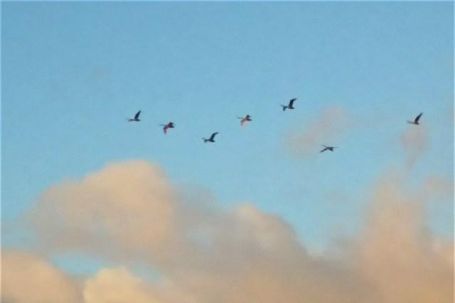 白鳥の編隊