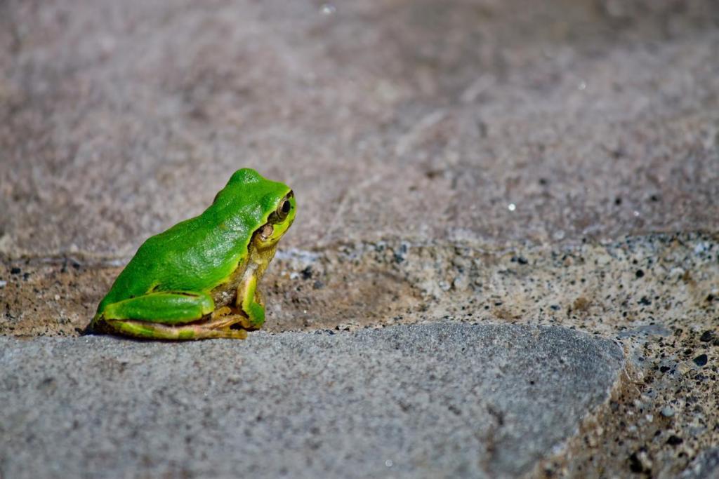 梅雨時期のカエル