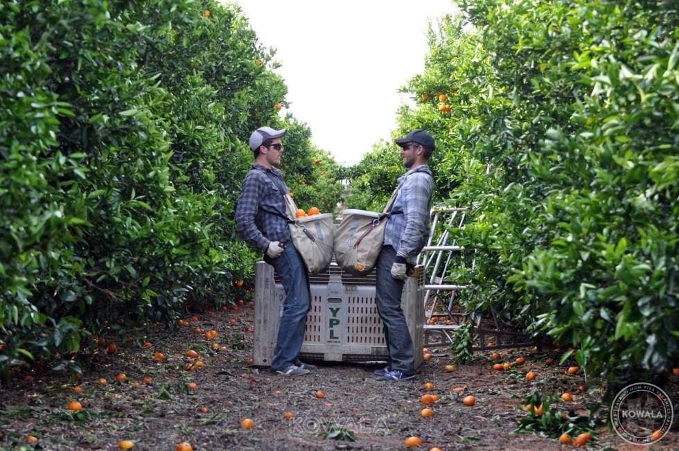 fruit picking orange Australie
