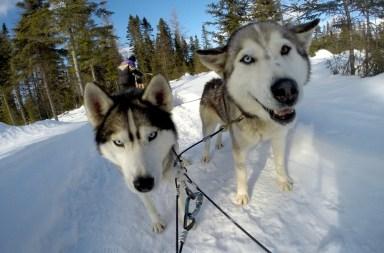 activité-hiver-quebec-chien-husky