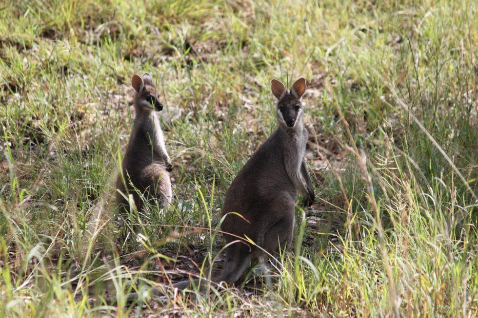 deux wallabies en Australie