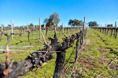 taille des vignes vignoble syrah gingin western backpacker australia pvt farm job whv