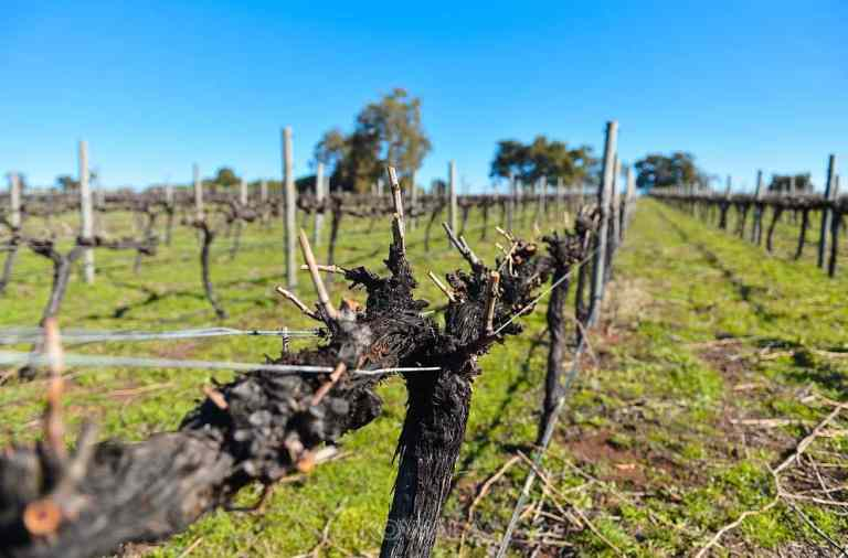 taille des vignes vignoble syrah gingin western backpacker australia pvt farm job whv