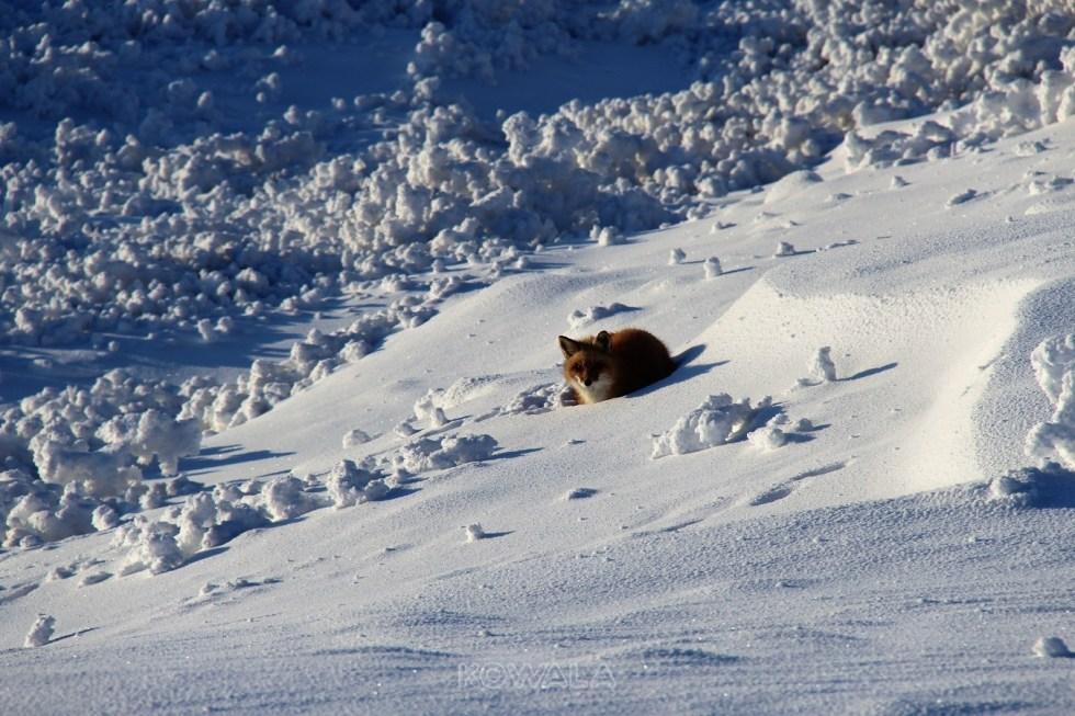 Renard sur la neige au Yukon