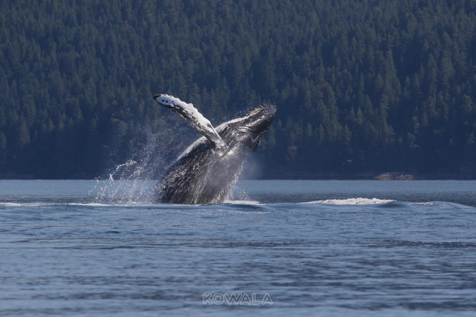 Une baleine bleue en plein saut