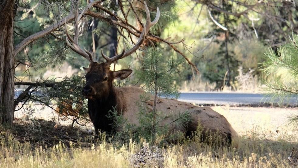 Un orignal sous un arbre au Canada