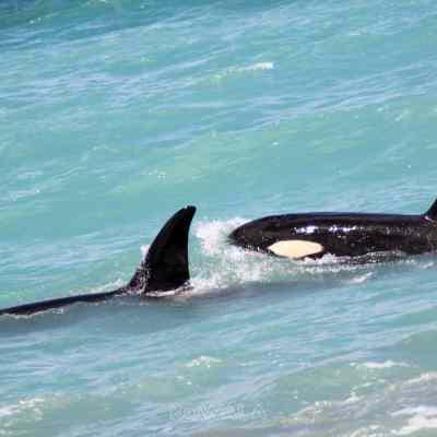 Deux orques dans le Pacifique