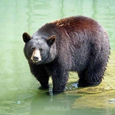 Un ours noir dans l'eau