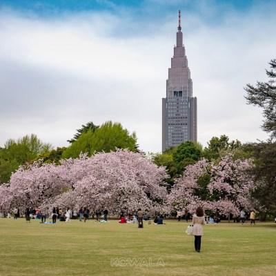 parc cerisier tokyo