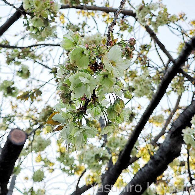 なんかホワイトバランスが狂ったような桜。