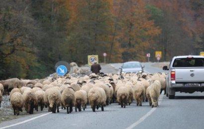 Koyun Sürüsü ile Karayoluna Çıktı, Sürücüler Şaştı