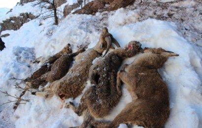 Adıyaman'da 5 Yaban Keçisi Açlıktan ve Soğuktan Öldü