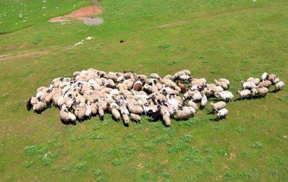 4 Bin Koyun Alınacak