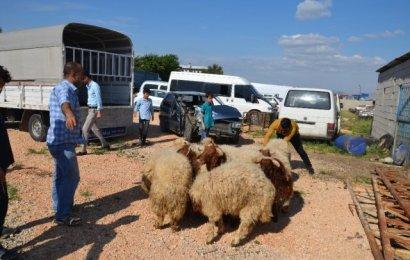 Şanlıurfa'dan Kaçak Yollarla Getirilen 50 Koyun Ele Geçirildi