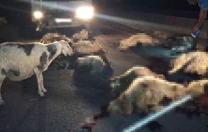 Uyuşturucu Satıcıları Koyun Sürüsünü Telef Etti