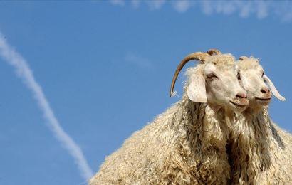 Ankara Keçisi Tiftiğinin Değeri Artıyor