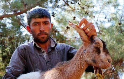 Fethiye'de kurtlar keçi sürüsüne saldırdı: 35 keçi telef oldu