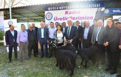 Muğla'da kadın girişimcilere 120 keçi hediye edildi