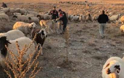 Destekle aldığı koyunları kaybetti! Sonra…