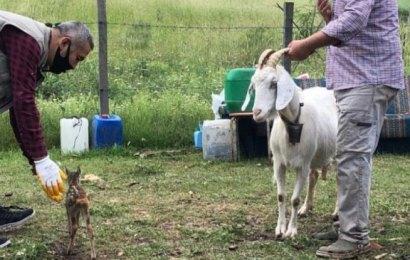 Yavru karacaya keçi annelik yapıyor…
