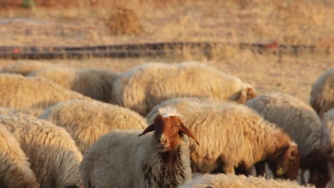 Katar, Dubai ve Kuzey Irak'a 15 yıl sonra canlı hayvan ihracatı başladı…