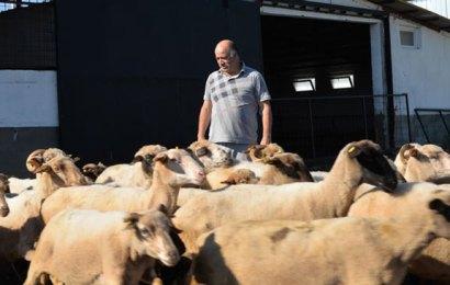 İngiliz ırkı ile yerli koyunu birleştirdi, çiftlikte et verimini arttırdı