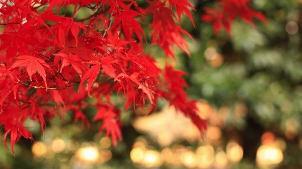 ボケ感が素晴らしい紅葉
