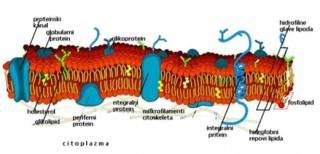 Transporti kroz ćelijsku membranu