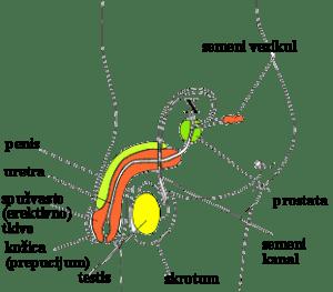 Slika 1. Građa muškog polnog sistema