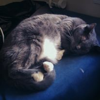 Image is of Denine, a short-haired grey and white tuxedo cat sleeping on a bed with a blue mattress cover, with her belly turned upward to reveal lots of floof.