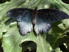dark blue butterfly