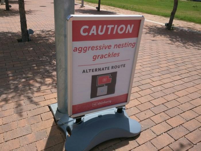 Aggressive Grackles
