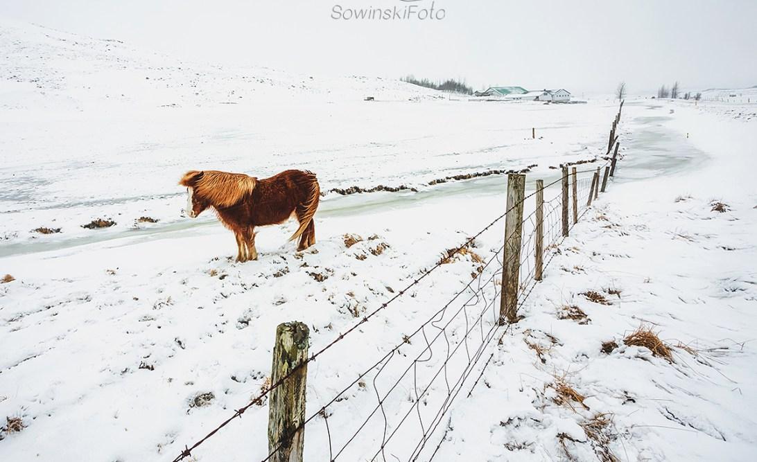 Dekoracja wnętrz koń Islandia