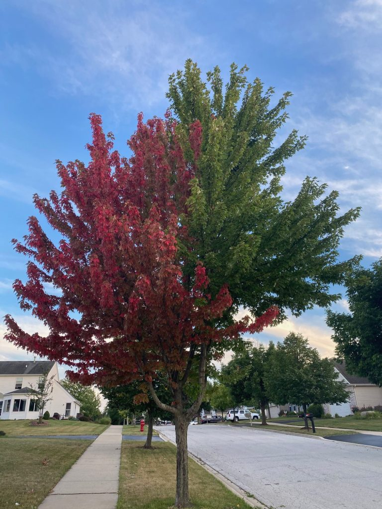 Autumn Blaze Maple - Parkway tree