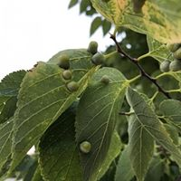 Plant Health Care - Hackberry Nipple Gall
