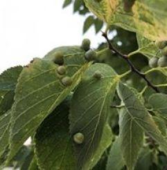 Plant Health Care - Hackberry Nipple Gall