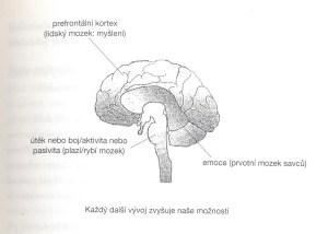 Kraniosakrální terapie - mozek