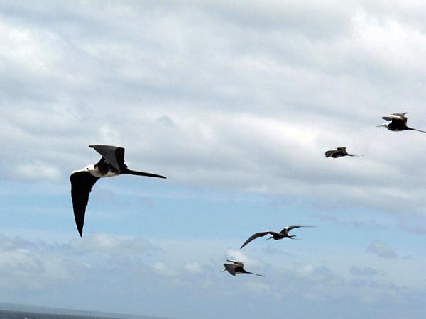 mezi mořskými ptáky kralují fregatky...