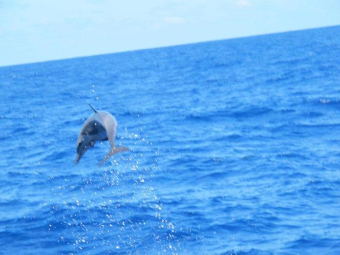 Delfín akrobat.